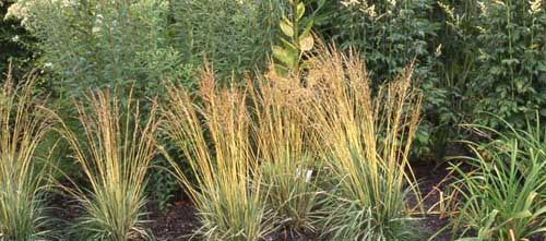 Deschampsia cespitosa Tautraeger' Dew Carrier Deschampsia