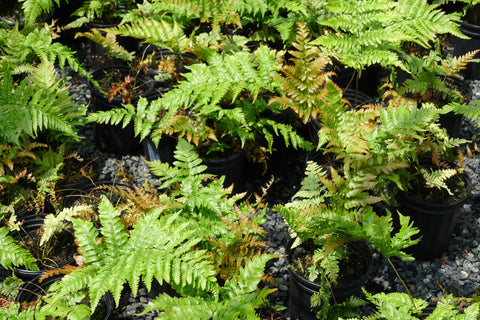 Dryopertis marginalis Leather Wood Fern