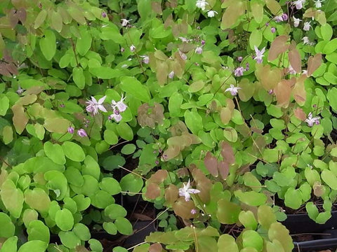 Epimedium grandiflorum Lilafee' Barrenwort