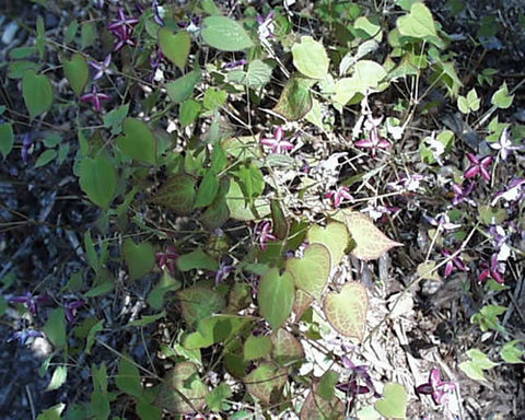 Epimedium rubrum Barrenwort