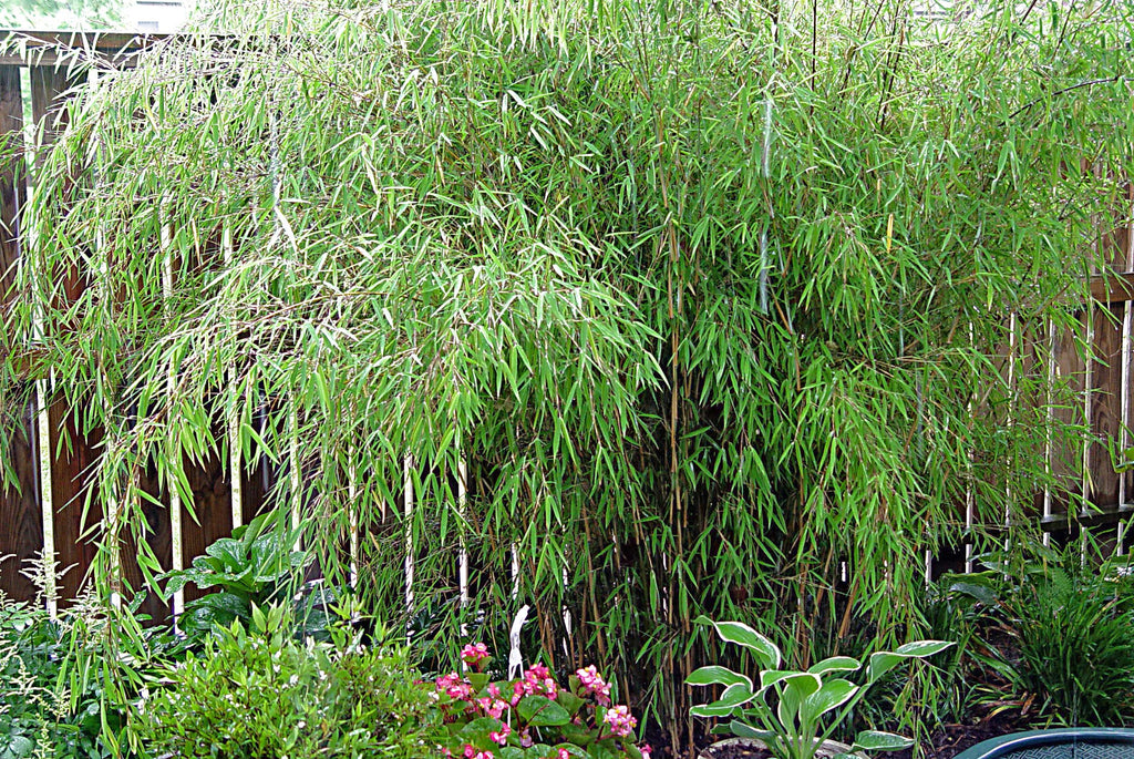 Fargesia nitida Fountain Clump Bamboo