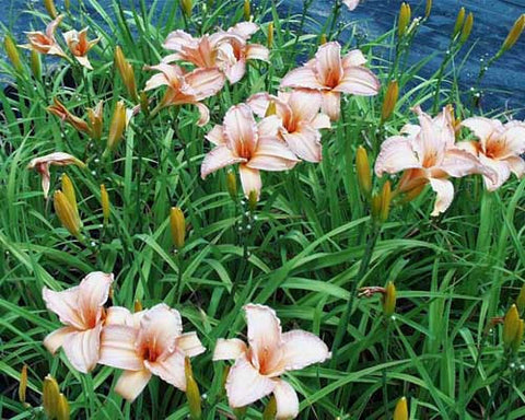 Hemerocallis Candy Apple' Daylili