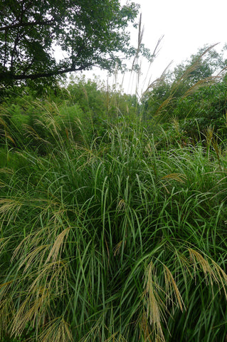 Molinia litoralis Windspiel' Tall Purple Moore Grass' Play of the Wind'Muehlenber