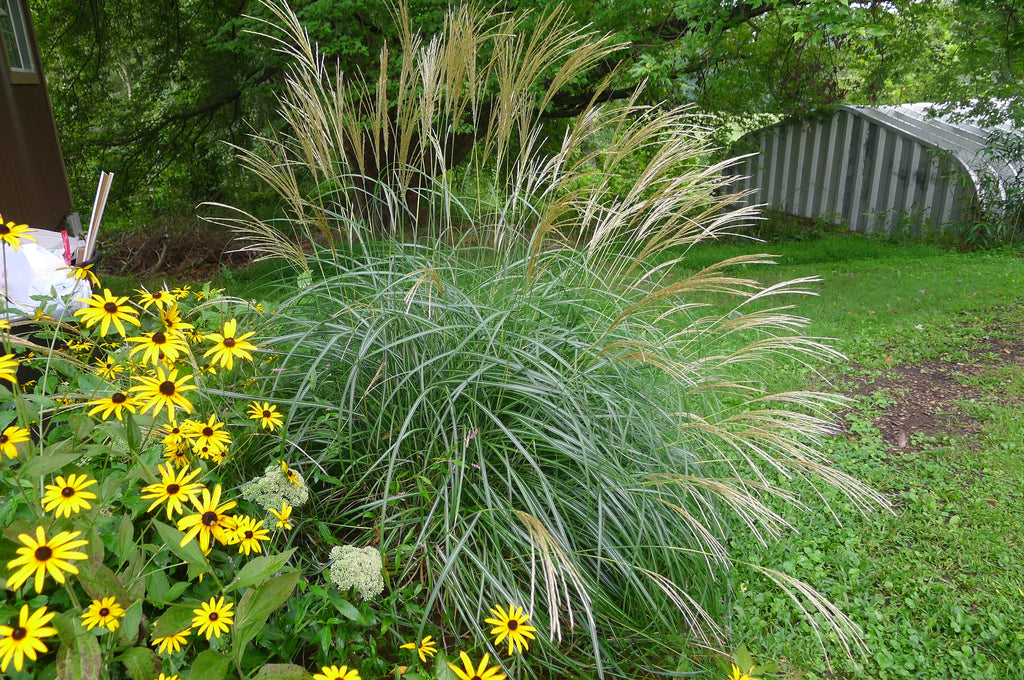 Picture of Live Dwarf Maiden Grass aka Miscanthus sin. 'Adagio' Plant Fit 5 Gallon Pot