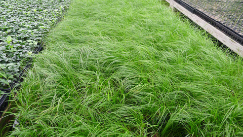 Carex pensylvanica Oak Sedge