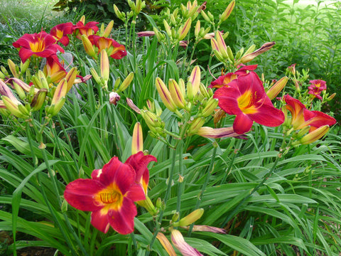 Hemerocallis Red Volunteer'