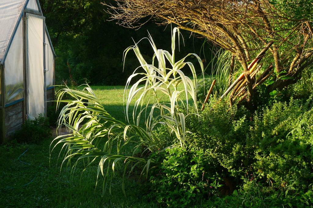Arundo donax Variegata' Variegated Giant Reed Grass