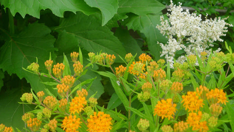 Asclepias tuberosa Gay Butterflies' Butterfly Weed