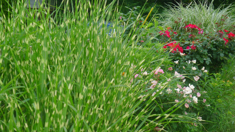 Miscanthus sinensis Strictus' Japanese Silver Grass' Stricturs'
