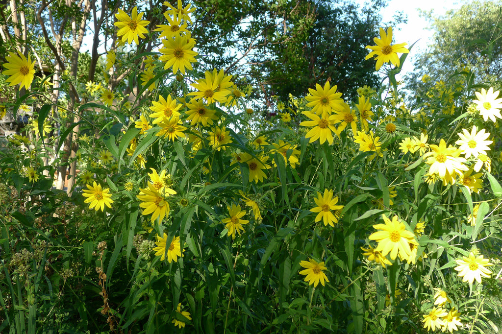 Helianthus decapetalus Lemon Queen'