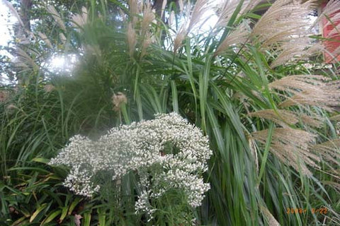 Miscanthus oligostachys Small Japanese Silver Grass