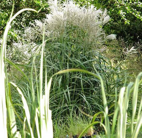 Miscanthus sinensis Malepartus' Japanese Silver Grass 'Malepartus'