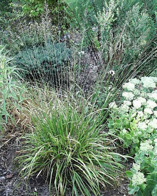 Molinia litoralis Bergfreund' Tall Purple Moore Grass 'Friend of the Mountain'