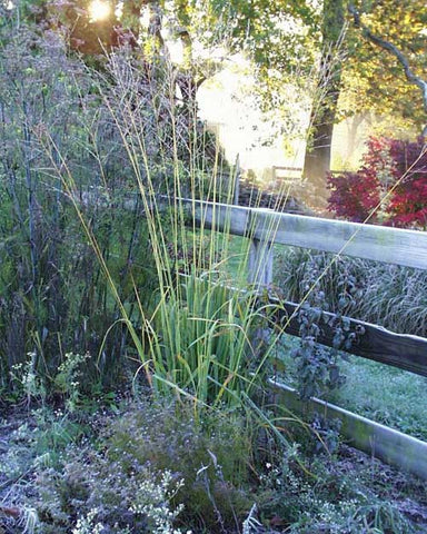 Molinia litoralis Fontaene' Tall Purple Moore Grass 'Fontaine'