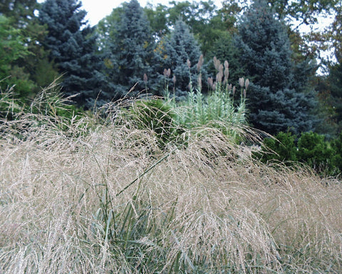Panicum amarum Dewey Blue' Beach Grass