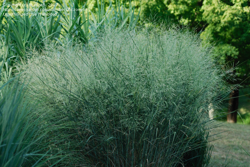 Panicum virgatum Cloud Nine' Cloud Nine' Switch Grass