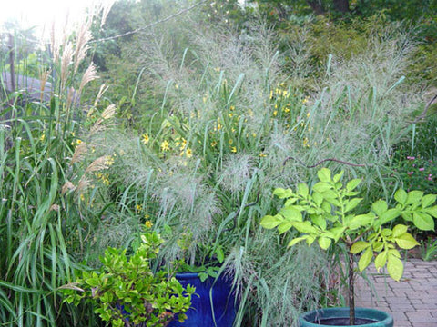 Panicum virgatum Dallas Blue' Dallas Blue' Switchgrass