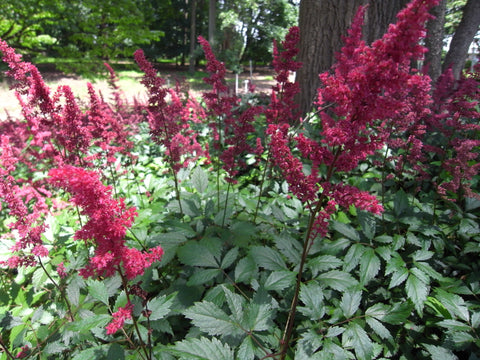 Astilbe x arendsii Fanal' Red Astilbe