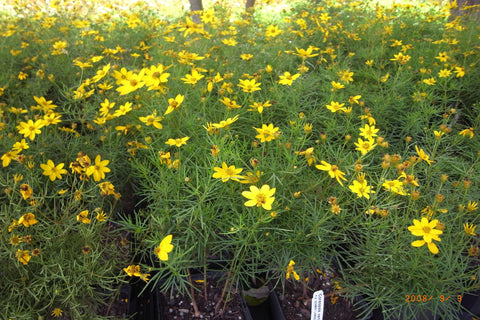 Coreopsis verticillata Golden Showers'