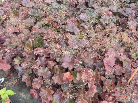 Heuchera micrantha Palace Purple'
