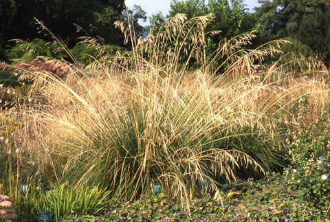 Stipa gigantea Giant Feather Grass