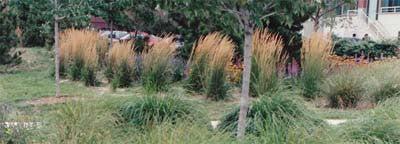 Calamagrostis acutiflora Stricta' Feather Reed Grass