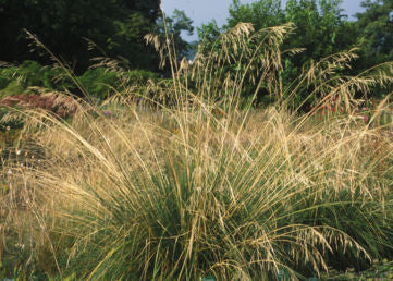 Deschampsia cespitosa Goldgehaenge' Tufted Golden Pendant grass