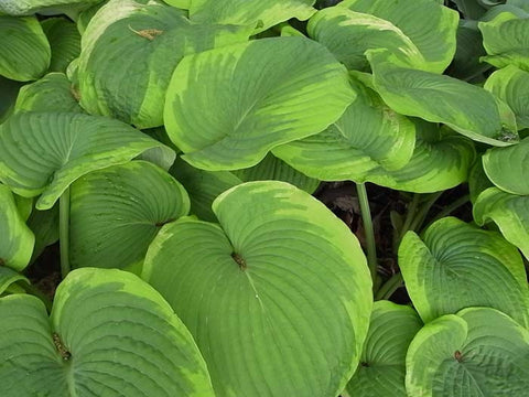 Hosta fortunei Gold Standard'