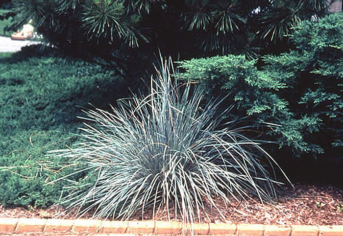 Helictotrichon sempervirens Blue Oat Grass
