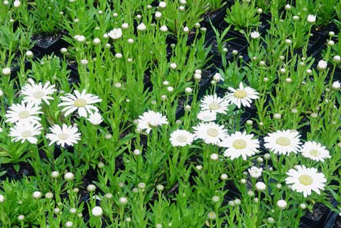 Leucanthemum maximum Switzerland'