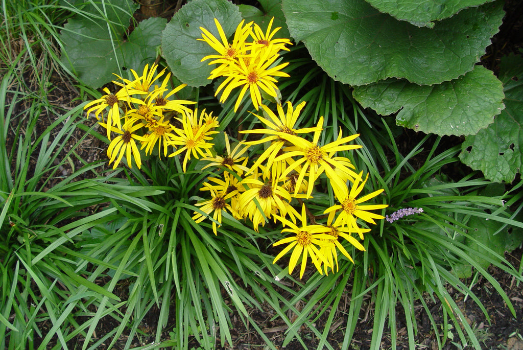 Ligularia stenocephala The Rocket'