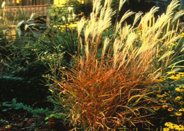 Miscanthus purpurascens Flame Grass