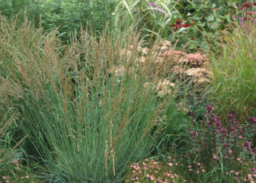 Molinia caerulea Strahlenquelle' Purple Moore Grass 'Source of Ray'