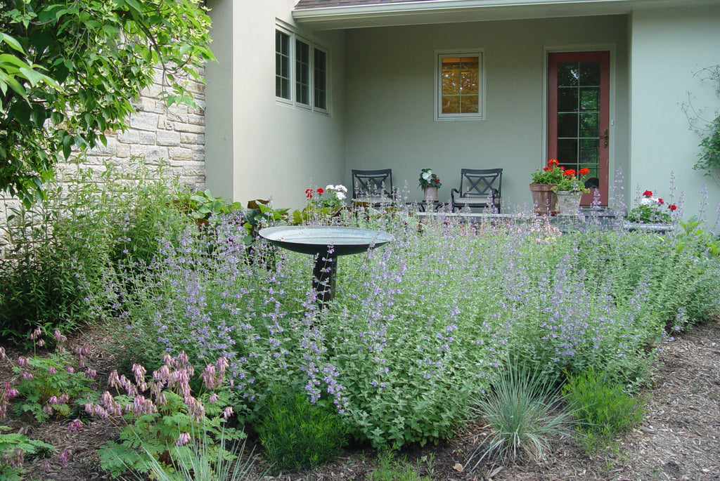 Nepeta fassenii Walkers Low' Blue Catmint