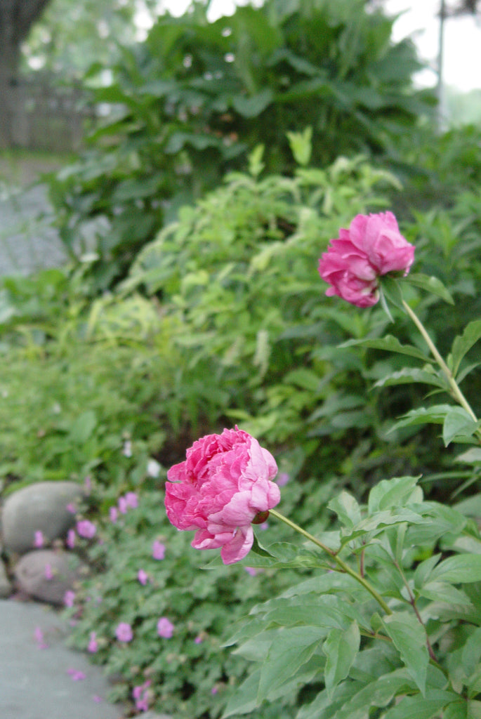 Paeonia Assorted