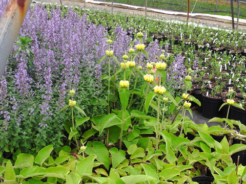 Nepeta fassenii Six Hill Giant' Blue Catmint