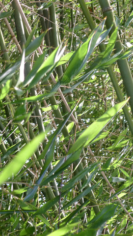 Phyllostachys bissettii Running Bamboo 'Bissetti'