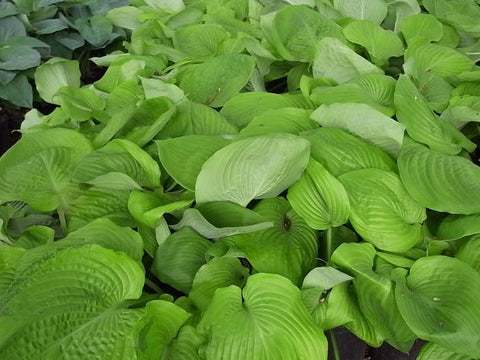 Hosta Sum and Substance'