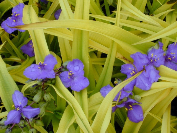 Tradescantia Sweet Kate' Spiderwort