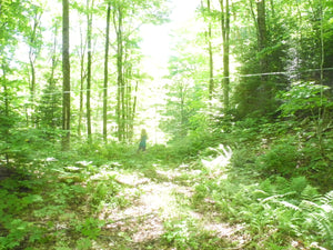 Saplines in the Summer Sugarwoods