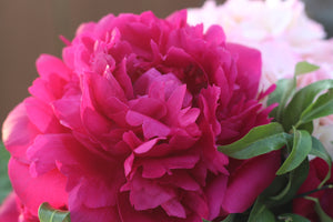 Fresh Alaska Peonies are blooming!