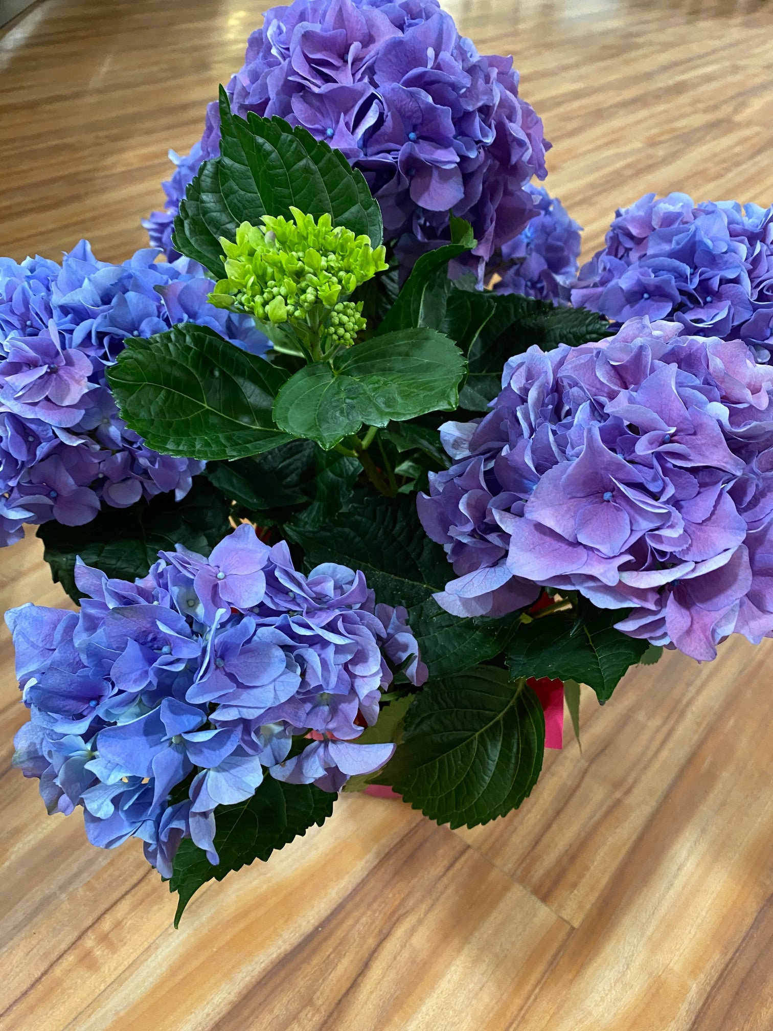 Mother's Day Potted Hydrangea Plant with Sweet Treats Macarons