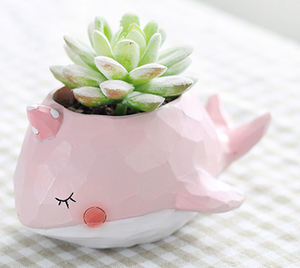 Pink Whale Succulent
