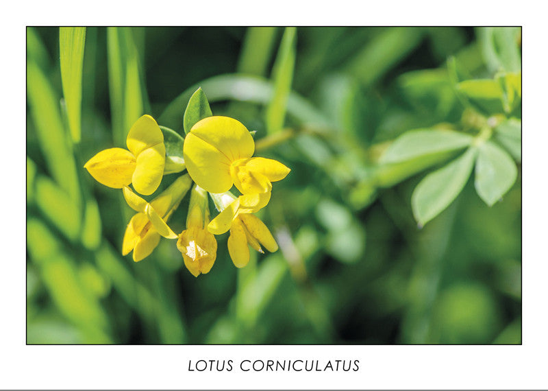 LOTUS CORNICULATUS - Bird's-foot trefoil
