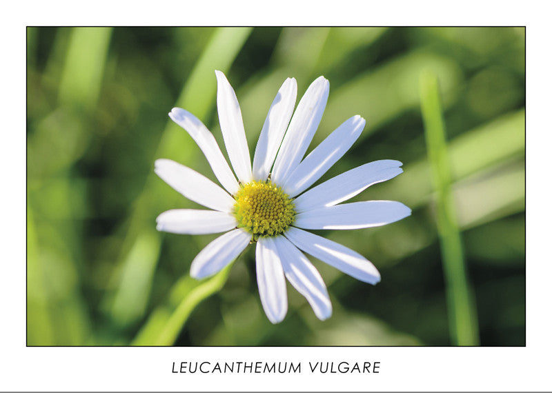LEUCANTHEMUM VULGARE - Oxeye daisy. Collection Botanic