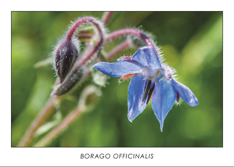 BORAGO OFFICINALIS - Starflower