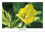 OENOTHERA - Evening primrose