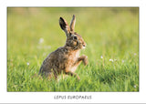 LEPUS EUROPAEUS - Brown hare. Collection Alpine Fauna
