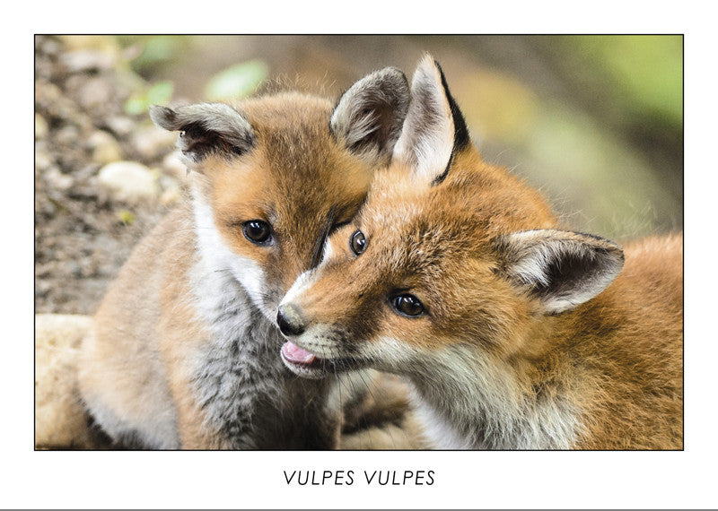 VULPES VULPES - Red fox - Collection Alpine Fauna