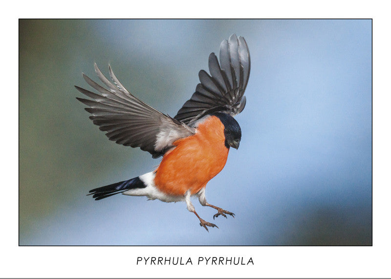 PYRRHULA PYRRHULA - Eurasian bullfinch. Collection Alpine Fauna.